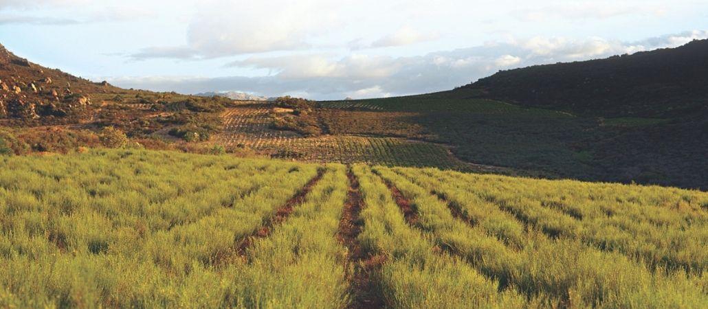 carmien tea rooibos fields